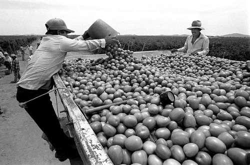 trabajo-forzado-tomate-tmec